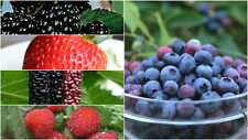 Super Berry Fruit Seeds Pack Raspberry Mulberry Blueberry Black Berry Strawberry