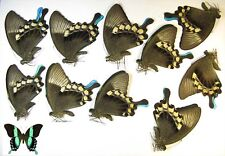Papilio blumei 10 males wholesale good for artwork big green butterfly papered