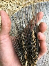 Black Eagle Wheat Seeds (~30): Certified Organic, Heirloom, Non-GMO
