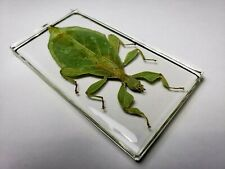 PHYLLIUM HAUSLEITHNERI. Hausleithner's .Stick Insect clear resin encapsulation.