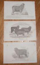 Lot of 3 Antique 1865 Prints of Merino Sheep Ewe & Ram Printed in 1865