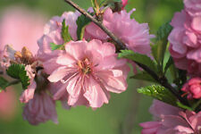 Flowering ALMOND Tree (grafted form)- 140 cm tall seedling- bare roots