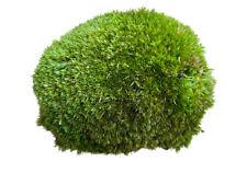 More details for live cushion moss for terrariums | bun moss