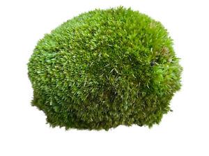Live Cushion Moss for Terrariums | Bun Moss