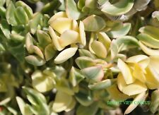 Succulent Crassula Ovata 'variegata' variegated jade plant 5 fresh cuttings