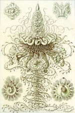 Ernst Haeckel Art Forms of Nature Anenome Jellyfish Crustacean Mollusk 18x24 new