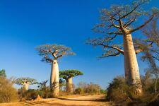 """5 Samen Seeds """"  Adansonia  """" Baobab  Affenbrotbaum"""