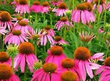 Organic Purple Coneflower Echinacea 25+Seed medicinal please read below for more