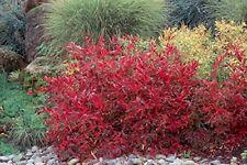 Henry's Garnet Itea - Live Plants - Virginia Sweetspire