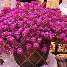 Alyssum Deep Rose Seed Perennial Dainty Ground Cover Rich Colour