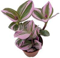 "Tradescantia Rare Nanouk Pink Wandering Jew Plant 2.5"" Pot Collector's Series"