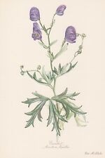 Aconitum napellus aconito sturmhut stampa a colori di 1954 Elsa M. felsko