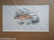 Antiquarian Trumpet Fish Print c1880 Hand Coloured, Fishes/Angling/UK Fishing