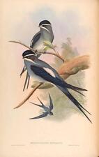J GOULD reproduction imprimé oiseaux dendrochelidon mystaceus des oiseaux de l'Asie. # 53