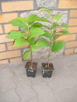 Asimina triloba Pawpaw Indianerbanane 2 Pflanze  (mind. 30 cm, 2 jährig)