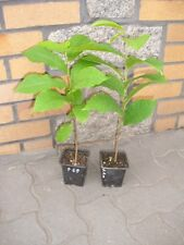 Asimina triloba Pawpaw Indianerbanane 2 Pflanzen  (mind.35 cm 2-3 jährig)