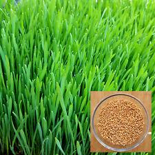 1 kg Organic Wheatgrass Seeds Grain Juicing Sprouting Grinding Cat Grass