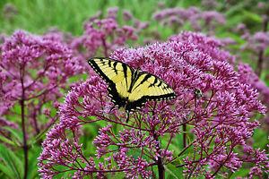 joe pye weed PINK flower, ATTRACTS BUTTERFLIES, 120 seeds! GroCo* buy US USA