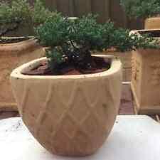 BONSAI TREE PLANTS JUNIPERUS PROCUMBENS 3 YEARS OLD