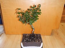 8 Year Old Exposed Nebari Roots Flowering Fruiting Cotoneaster 5/8 Inch Bonsai