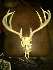 Nice 10 Point Wild whitetail deer antlers skull Man cave European Mount