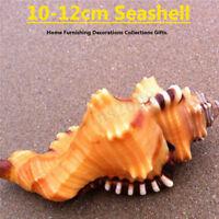 10-12cm Géant Conque Marin Mer Naturel Tridacna Gros Coquillages Décor