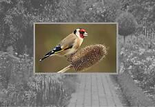 Distelfink Britisch- Garten Vögel Wildvogel Kühlschrank-Magnet Bild Mag
