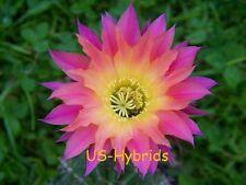 """Echinopsis Hybride hybrid """" US51 - Anne Frank """" original  Neuzucht  NEW  rooted"""