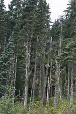 Lutz Spruce (Picea x lutzii) 10 seeds