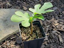 """Fig Tree - Orphan / Jin Ao Fen - live plant - 4"""" pot"""