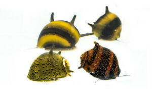 Mixed Horned Nerite snails, Fresh Water Snail