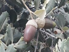 30 Seeds QUERCUS ILEX (selected and checked) sweet acorns  !!!FRESH!!