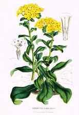 "Van Houtte's Horto Van Houtteano - ""ARNEBIA ECHIODES"" - Chromolith - 1850"