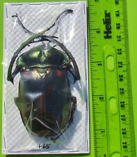 Very Rare Chinese Long-arm Beetle Cheirotonus jansoni Male 65mm FAST FROM USA