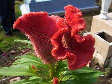 🐓 50 graines de CÉLOSIE ARGENTÉE ROUGE (Celosia argentea var cristata) SEEDS