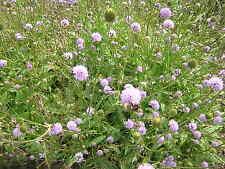 Devil's bit Scabious. Succisa pratensis. 50 seeds. British native wild flower.