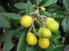 Japanese Plum  **** 2 Seedlings **** Eriobotrya Japonica