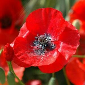 RED TULIP POPPY 480 Seeds FLOWER GARDEN cottage EASY GROW PLANT petal bloom RARE