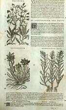 Rapunzel Leontopodium Antirrhinum Botánica Matthioli Mattioli Dioscorides