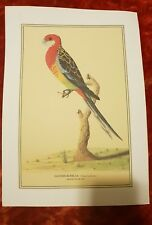 Eastern Rosella - Vintage Print