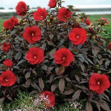 bush hibiscus Plant Midnight Marvel hardy perennial Starter Ship Spring 2021
