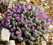 Gibbaeum pubescens @@ rare mesembs cactus seed 20 SEEDS