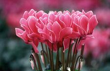 100 PCS - Mix Colors Cyclamen Flower Seeds Perennial Flowering Plants