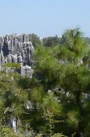 60 Samen Pinus yunnanensis