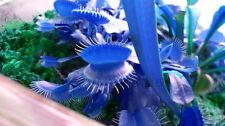 Blue 30 Semi di Dionea miscipula Gigante Venus Dionea Fly trap acchiappamosche