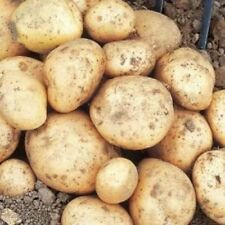 Full Sun Temperate Potato Vegetable Plant Seeds
