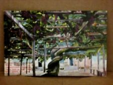 Vintage postcard LARGEST GRAPE VINE IN THE WORLD Santa Barbara California Newman