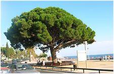 5 graines de PIN PARASOL(Pinus Pinea)= PIN PIGNON  G328 SEEDS SAMEN SEMI SEMILLA
