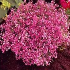 Baby's Breath- (Gyposophila Elegans)- Red- 100 Seeds -