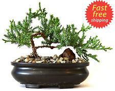 Bonsai Tree Zen Juniper Little Live Nature Japanese Pot Indoor Plant Desk New